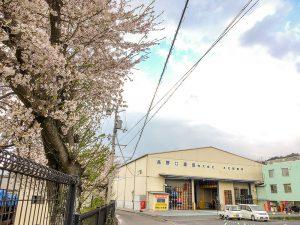 本社前の桜